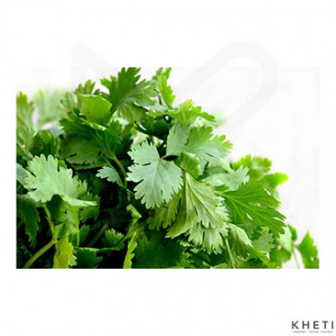 Coriander Green (hariyo dhaniya)